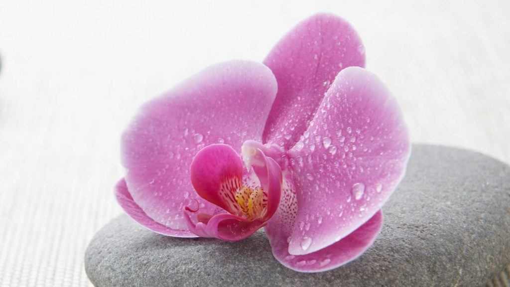pink orchid flower on gray stone